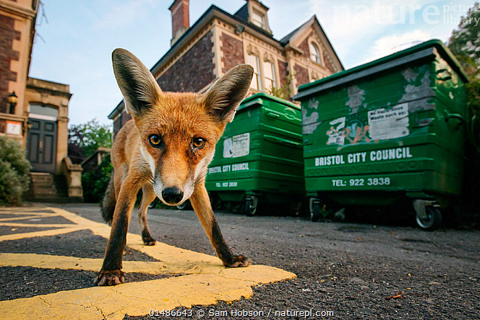 Young urban Red fox (Vulpes vulpes) standing in front of Bristol City Council dustbins. Bristol, UK, September., high15,,Animal,Vertebrate,Mammal,Carnivore,Canid,True fox,Red fox,Vicious,Animalia,Animal,Wildlife,Vertebrate,Mammalia,Mammal,Carnivora,Carnivore,Canidae,Canid,Vulpes,True fox,Vulpini,Caninae,Vulpes vulpes,Red fox,Alertness,Alert,Curiosity,Cute,Adorable,Nobody,Serious,Europe,Western Europe,UK,Great Britain,England,Bristol,Low Angle View,Young Animal,Juvenile,Container,Containers,Bin,Bins,Waste Container,Waste Containers,Dustbin,Dustbins,Garbage Bin,Garbage Bins,Litter Bin,Litter Bins,Rubbish Bin,Rubbish Bins,City,Building,Construction Material,Asphalt,Bitumen,Tarmac,Outdoors,Open Air,Outside,Day,Nature,Natural,Natural World,Wild,Ferocious,Direct Gaze,Personal point of view,Vicious,Personal POV,Wheelie Bin,,,urban,, Sam Hobson