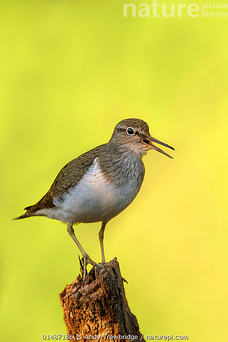 Common Sandpiper (Actitis hypoleucos) perched on stump calling. Tomter, Southern Norway. July., high15,,Animal,Vertebrate,Bird,Birds,Sandpiper,Common sandpiper,Animalia,Animal,Wildlife,Vertebrate,Aves,Bird,Birds,Charadriiformes,Scolopacidae,Sandpiper,Wader,Shorebird,Actitis,Actitis hypoleucos,Common sandpiper,Eurasia sandpiper,Vocalisation,Calling,Call,Balance,Effort,Exertion,Trying,Nobody,Europe,Northern Europe,North Europe,Nordic Countries,Scandinavia,Norway,Coloured Background,Yellow Background,Cutout,Vertical,Portrait,Plant,Tree Stump,Mouth,Antler,Antlers,Beak,Beaks,Outdoors,Open Air,Outside,Day,Animal Behaviour,Behaviour,Open Mouth,Tomter,, Andy Trowbridge