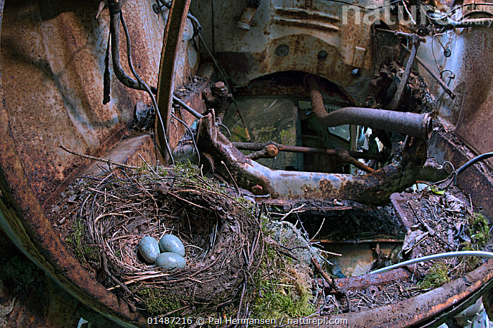 Blackbird (Turdus merula) nest with eggs in old car in 'car graveyard', Varmland, Sweden, June.  ,  ABANDONED,ANIMAL,ANIMAL EGGS,ANIMALIA,AVES,BIRDS,BLACK THRUSH,BLACKBIRD,CAR,CARS,CHORDATE,COMMON BLACKBIRD,DECAYING,DECOMPOSITION,EGG,EGGS,ENVIRONMENT,ENVIRONMENTAL ISSUES,EURASIAN BACKBIRD,EUROPE,FORGOTTEN,GTALAND,INSIDE VIEW,INSIDE VIEWS,INTERIOR,INTERIOR SPACE,INTERIOR SPACES,INTERIOR VIEW,INTERIOR VIEWS,INTERIORS,JUNKYARD,LAND VEHICLE,MOTOR VEHICLE,Nature Reclamation,NATURE TAKING OVER,NEST,NESTS,NORDIC COUNTRIES,NORTH EUROPE,NORTHERN EUROPE,OLD,PASSERIFORMES,PASSERINE,RUST,RUSTED,RUSTING,RUSTY,SCANDINAVIA,SONGBIRD,SWEDEN,THRUSH,TRUE THRUSH,TURDIDAE,TURDUS,TURDUS MERULA,Varmland,VERTEBRATE,VRMLAND,WILDLIFE  ,  Pal Hermansen