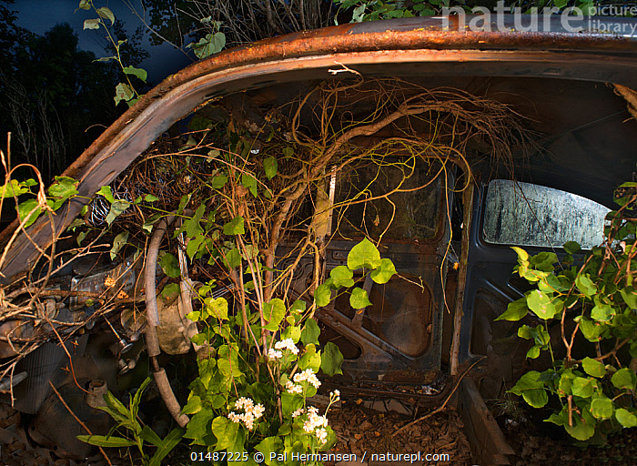 Interior of old car at night with plants growing inside, Bastnas car graveyard, Varmland, Sweden, July.  ,  ABANDONED,CAR,CARS,Concepts,DECAYING,DECOMPOSITION,ENVIRONMENT,ENVIRONMENTAL ISSUES,EUROPE,FLOWER,FORGOTTEN,GROW,GROWING,GROWS,GROWTH,GTALAND,INSIDE VIEW,INSIDE VIEWS,INTERIOR,INTERIOR SPACE,INTERIOR SPACES,INTERIOR VIEW,INTERIOR VIEWS,INTERIORS,JUNKYARD,LAND VEHICLE,MOTOR VEHICLE,Nature Reclamation,NATURE TAKING OVER,NIGHT,NORDIC COUNTRIES,NORTH EUROPE,NORTHERN EUROPE,OLD,OVERGROWN,PLANT,RUST,RUSTED,RUSTING,RUSTY,SCANDINAVIA,SWEDEN,Varmland,VRMLAND  ,  Pal Hermansen