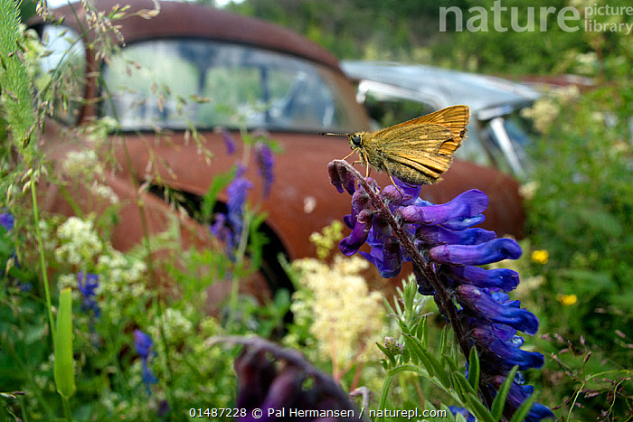 Skipper butterfly (Hesperiidae) in front of old rusting car in Bastnas car graveyard, Sweden, June.  ,  ABANDONED,ANIMAL,ANIMALIA,ARTHROPOD,ARTHROPODA,BUTTERFLY,CAMERA FOCUS,CAR,CARS,COLOUR,Concepts,DECAYING,DECOMPOSITION,ENVIRONMENT,ENVIRONMENTAL ISSUES,EUROPE,FLOWER,FOCUS ON FOREGROUND,FOCUS ON FOREGROUNDS,FORGOTTEN,GROW,GROWING,GROWS,GROWTH,GTALAND,HESPERIIDAE,HESPERIOIDEA,HEXAPOD,HEXAPODA,INSECT,INSECTA,INVERTEBRATE,JUNKYARD,LAND VEHICLE,LEPIDOPTERA,LEPIDOPTERANS,LOW DEPTH OF FIELD,MOTOR VEHICLE,Nature Reclamation,NATURE TAKING OVER,NORDIC COUNTRIES,NORTH EUROPE,NORTHERN EUROPE,OLD,OVERGROWN,PLANT,PURPLE,REST,RESTING,RUST,RUSTED,RUSTING,RUSTY,SCANDINAVIA,SELECTIVE FOCUS,SHALLOW DEPTH OF FIELD,SKIPPER,SWEDEN,Varmland,VRMLAND,WILDLIFE  ,  Pal Hermansen