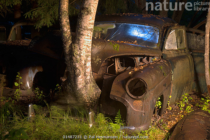 Birch tree (Betula sp) growing up through old rusting car at night. Bastnas car graveyard, Sweden, July. Winner of the Portfolio category in the Melvita Nature Images Awards competition 2014., Abandoned,Angiosperm,Angiospermae,Auto Hood,Auto Hoods,Automobile Hood,Automobile Hoods,Betula,Betulaceae,Birch tree,Bonnets,Car Bonnet,Car Bonnets,Car Hood,Car Hoods,Car Window,Cars,Decaying,Decomposition,Dicot,Dicotyledon,Environment,Environmental Issues,Europe,Fagales,Flowering plant,Forgotten,Grow,Growing,Grows,Growth,Gtaland,high1314,Junkyard,Land Vehicle,Magnoliopsida,Motor Vehicle,Nature Reclamation,Nature taking over,Night,Nobody,Nordic Countries,North Europe,Northern Europe,Old,Open Air,Outdoors,Outside,Overgrown,Part Of Vehicle,Plant,Plantae,Rosanae,Rosid,Rust,Rusted,Rusting,Rusty,Scandinavia,Seed plant,Spermatophyte,Spermatophytina,Sweden,Tracheophyta,Tree,Tree Trunk,Trees,Varmland,Vascular plant,Vehicle Window,Vrmland,Windshield, Pal Hermansen