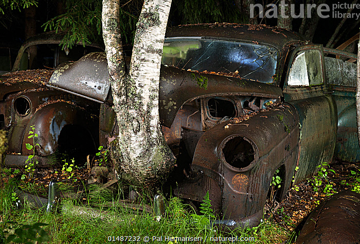 Birch tree (Betula sp) growing up through old rusting car at night. Bastnas car graveyard, Sweden, July.  ,  ABANDONED,ANGIOSPERM,ANGIOSPERMAE,AUTO HOOD,AUTO HOODS,AUTOMOBILE HOOD,AUTOMOBILE HOODS,BETULA,BETULACEAE,BIRCH TREE,BONNETS,CAR,CAR BONNET,CAR BONNETS,CAR HOOD,CAR HOODS,CARS,Concepts,DECAYING,DECOMPOSITION,DICOT,DICOTYLEDON,ENVIRONMENT,ENVIRONMENTAL ISSUES,EUROPE,FAGALES,FLOWERING PLANT,FORGOTTEN,GROW,GROWING,GROWS,GROWTH,GTALAND,JUNKYARD,LAND VEHICLE,MAGNOLIOPSIDA,MOTOR VEHICLE,Nature Reclamation,NATURE TAKING OVER,NIGHT,NORDIC COUNTRIES,NORTH EUROPE,NORTHERN EUROPE,OLD,OVERGROWN,PART OF VEHICLE,PLANT,PLANTAE,PLANTS,ROSANAE,ROSID,RUST,RUSTED,RUSTING,RUSTY,SCANDINAVIA,SEED PLANT,SPERMATOPHYTE,SPERMATOPHYTINA,SWEDEN,TRACHEOPHYTA,TREE,TREE TRUNK,TREES,Varmland,VASCULAR PLANT,VRMLAND  ,  Pal Hermansen