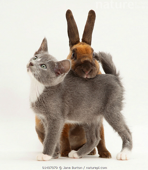 Blue and white Burmese-cross kitten rubbing against sooty-fawn dwarf Rex rabbit. NOT AVAILABLE FOR BOOK USE, high15,,Felis catus,Oryctolagus cuniculus,Hiding,Rubbing,Rub,Anxiety,Friendship,Colour,Brown,Grey,Gray,Two,Nobody,Affectionate,Affection,Cutout,Plain Background,White Background,Close Up,Animal,Young Animal,Juvenile,Babies,Baby Mammal,Kitten,Kittens,Indoors,Studio Shot,Studio Shots,Domestic animal,Pet,Mixed species,Domestic Cat,Cats,Burmese,Domestic Rabbit,Rex,Felis catus,Oryctolagus cuniculus,Unlikely friends,Unusual friends,Bunny,Cat,Two animals,Mammal,Brown Colour,, Jane Burton
