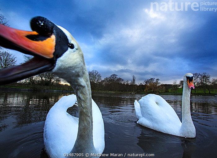 Mute swans (Cygnus olor) Highgate Ponds, Hampstead Heath, London, UK, February., high15,,Animal,Vertebrate,Bird,Birds,Water fowl,Waterfowl,True swan,Mute swan,Animalia,Animal,Wildlife,Vertebrate,Aves,Bird,Birds,Anseriformes,Water fowl,Galloanserans,Waterfowl,Anatidae,Cygnus,True swan,Swan,Cygninae,Anserinae,Cygnus olor,Mute swan,Vocalisation,Calling,Call,Quacking,Pecking,Peck,Pecks,Swimming,Curiosity,Nosy,Nosey,Two,Nobody,Facial Expression,Mouth Open,Europe,Western Europe,UK,Great Britain,England,London,Greater London,Close Up,Front View,View From Front,Wide Angle,Mouth,Beak,Beaks,Park,Parks,Sky,Cloud,Weather,Overcast,Outdoors,Open Air,Outside,Day,Nature,Natural,Natural World,Wild,Freshwater,Pond,Water,Animal Behaviour,Aggression,Behaviour,Two animals,Direct Gaze,Personal point of view,Open Mouth,City park,Urban park,Personal POV,Highgate Ponds,Wildfowl,,urban,, Matthew Maran