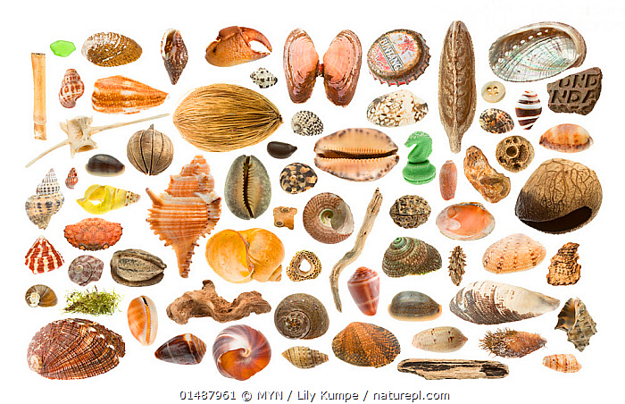 Composite of seashells from beach on Bali, Indonesia. Meetyourneighbtous.net project  ,  high15,,,Variation,Group,Large Group,Nobody,Asia,South East Asia,Indonesia,Bali Island,Plain Background,White Background,Animal,Shell,Seashell,Indoors,Studio Shot,Studio Shots,Biodiversity hotspot,MYN,Meet your Neighbours,Large Group of Objects,  ,  MYN / Lily Kumpe