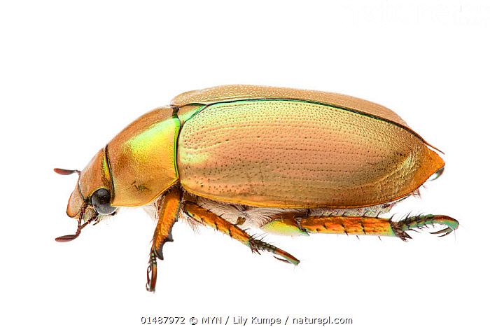 Christmas Beetle.Nature Picture Library Christmas Beetle Anoplognathus