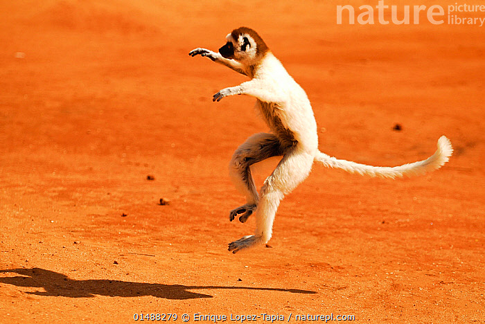 Verreaux's sifaka (Propithecus verreauxi) 'dancing'. Berenty Private Reserve, Madagascar. Endangered species., ANIMAL,VERTEBRATE,MAMMAL,SIFAKA,VERREAUX&#39,S SIFAKA,ANIMALIA,ANIMAL,WILDLIFE,VERTEBRATE,CHORDATE,MAMMALIA,MAMMAL,PRIMATE,PRIMATES,INDRIIDAE,PROSIMIANS,PROPITHECUS,SIFAKA,PROPITHECUS VERREAUXI,VERREAUX&#39,S SIFAKA,PROPITHECUS MAJORI,PROPITHECUS VERREAUXOIDES,JUMPING,RUNNING,MID AIR,MADAGASCAR,MALAGASY REPUBLIC,REPUBLIC OF MADAGASCAR,COPY SPACE,SHADOW,RESERVE,BIODIVERSITY HOTSPOTS,BIODIVERSITY HOTSPOT,ENDEMIC,PROTECTED AREA,NEGATIVE SPACE,ENDANGERED SPECIES,THREATENED,VULNERABLE,MAMMALS, Enrique Lopez-Tapia