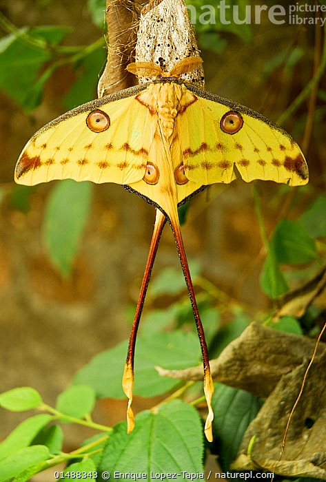 Comet moth (Argema mittrei) Captive, endemic to Madagascar.  ,  ANIMAL,ARTHROPOD,INSECT,SATURNIID,MOON MOTH,COMET MOTH,ANIMALIA,ANIMAL,WILDLIFE,HEXAPODA,ARTHROPOD,INVERTEBRATE,HEXAPOD,ARTHROPODA,INSECTA,INSECT,LEPIDOPTERA,LEPIDOPTERANS,SATURNIIDAE,SATURNIID,MOTH,ARGEMA,MOON MOTH,ARGEMA MITTREI,COMET MOTH,MADAGASCAN MOON MOTH,MADAGASCAR MOON MOTH,ARGEMA COMETES,ARGEMA IDEA,ARGEMA MADAGASCARIENSIS,COLOUR,YELLOW,MADAGASCAR,MALAGASY REPUBLIC,REPUBLIC OF MADAGASCAR,VERTICAL,HIGH ANGLE VIEW,WING,WINGS,CAPTIVITY,ANIMAL MARKINGS,BIODIVERSITY HOTSPOTS,BIODIVERSITY HOTSPOT,ENDEMIC,ELEVATED VIEW,WINGS SPREAD,WINGSPAN,DORSAL VIEW,EMPEROR MOTH,EMPEROR MOTHS  ,  Enrique Lopez-Tapia