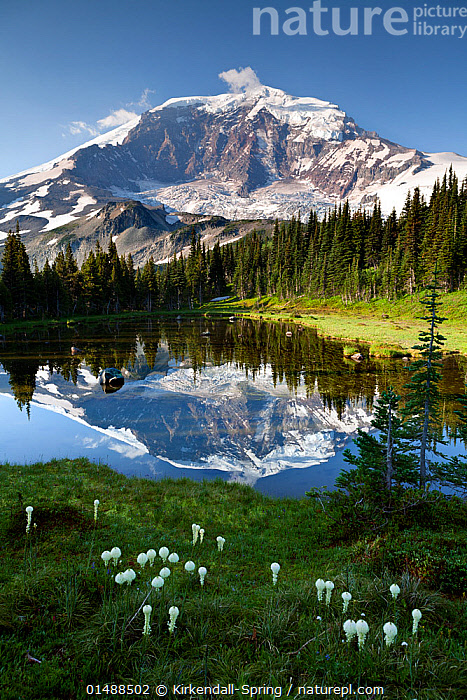 Mount Rainier reflected in tarn above Mystic Lake in Mount Rainier National Park, Washington, USA, August 2014., high15,,American,Freshness,Fresh,Nobody,Snowcapped,North America,USA,Western USA,Washington,Vertical,High Angle View,Plant,Flower,Flowers,Tree,Mountain,Summit,Reflection,Landscape,Landscapes,Outdoors,Open Air,Outside,Day,Woodland,Freshwater,Lake,Water,Reserve,Forest,Protected area,National Park,Elevated view,American,Mount Rainier,United States of America,Mystic Lake,, Kirkendall-Spring