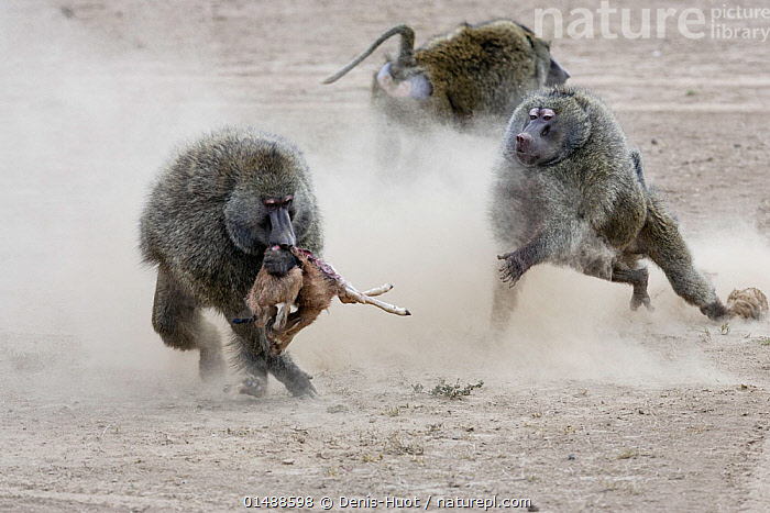 Olive baboon (Papio anubis) males fighting over newborn Thomson's gazelle (Eudorcas thomsonii) prey, Masai-Mara game reserve, Kenya.  ,  catalogue7,Animal,Vertebrate,Mammal,Monkey,Baboon,Olive Baboon,Bovid,Gazelle,Thomson's gazelle,Antelope,Animalia,Animal,Wildlife,Vertebrate,Mammalia,Mammal,Primate,Primates,Cercopithecidae,Monkey,Old World Monkeys,Papio,Baboon,Papionini,Papio anubis,Olive Baboon,Anubis Baboon,Papio choras,Papio doguera,Papio furax,Artiodactyla,Even-toed ungulates,Bovidae,Bovid,ruminantia,Ruminant,Eudorcas,Gazelle,Eudorcas thomsonii,Thomson's gazelle,Tommie,Running,Rivalry,Rival,Rivals,Hunger,Appetite,Hungry,Dead,Dead Animal,Carcass,Few,Four,Group,Nobody,Africa,East Africa,Kenya,Male Animal,Soil,Dirt,Soils,Dust,Dusty,Outdoors,Open Air,Outside,Day,Predator,Predators,Nature,Natural,Natural World,Wild,Animal Behaviour,Aggression,Fighting,Feeding,Predation,Killing,Death,Behaviour,Maasai Mara,Antelope,Food chain,Four animals,Holding in mouth,Prey  ,  Denis-Huot