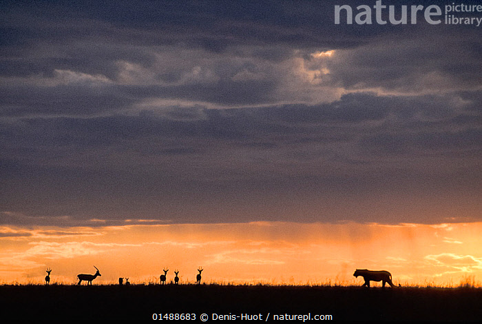 Lioness (Panthera leo) and Thomson's gazelles (Eudorcas thomsonii) silhouetted at sunset, Masai-Mara game reserve, Kenya.  ,  catalogue7,Animal,Vertebrate,Mammal,Carnivore,Cat,Big cat,Bovid,Gazelle,Thomson's gazelle,Lion,Antelope,Animalia,Animal,Wildlife,Vertebrate,Mammalia,Mammal,Carnivora,Carnivore,Felidae,Cat,Panthera,Big cat,Panthera leo,Artiodactyla,Even-toed ungulates,Bovidae,Bovid,ruminantia,Ruminant,Eudorcas,Gazelle,Eudorcas thomsonii,Thomson's gazelle,Tommie,Prowling,Threat,Menace,Menaces,Menacing,Threatening,Threats,Vulnerability,Vulnerable,Vunerability,Vunerable,Colour,Grey,Gray,Yellow,Nobody,Dark,Darkness,Meeting,Africa,East Africa,Kenya,Back Lit,Backlit,Horizon,Horizon Over Land,Horizons Over Land,Sky,Cloud,Moody Sky,Dramatic Sky,Sunset,Setting Sun,Sunsets,Outdoors,Open Air,Outside,Twilight,Evening,Night,Predator,Predators,Nature,Natural,Natural World,Wild,Animals In The Wild,Animal In The Wild,Wild Animal,Wild Animals,Savanna,Animal Behaviour,Reserve,Silhouette,Lion,Mixed species,Behaviour,Maasai Mara,Protected area,Dusk,Antelope,Expansive,Vast,Game reserve,Prey,Yellow Colour  ,  Denis-Huot