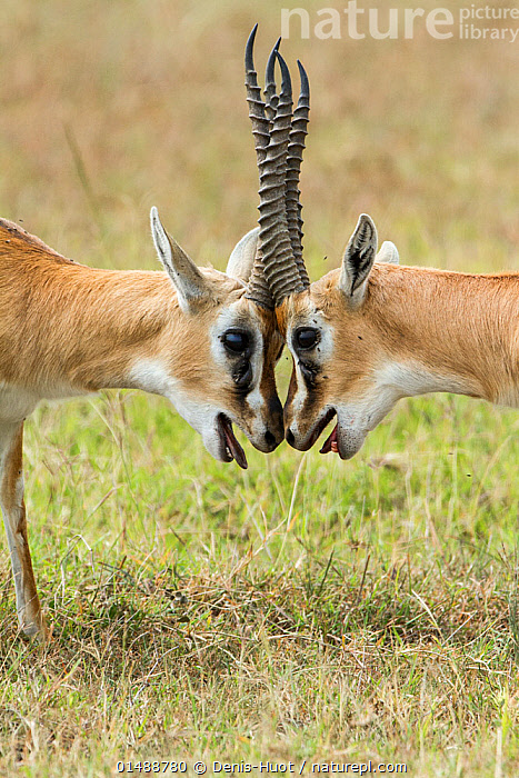 Two male Thomson's gazelles (Eudorcas thomsonii) fighting, Masai-Mara game reserve, Kenya., high15,,Animal,Vertebrate,Mammal,Bovid,Gazelle,Thomson's gazelle,Antelope,Animalia,Animal,Wildlife,Vertebrate,Mammalia,Mammal,Artiodactyla,Even-toed ungulates,Bovidae,Bovid,ruminantia,Ruminant,Eudorcas,Gazelle,Eudorcas thomsonii,Thomson's gazelle,Tommie,Pushing,Push,Concentrate,Concentrated,Concentrating,Concentration,Humorous,Symmetry,Face To Face,Face Each Other,Facing Each Other,Two,Nobody,Facial Expression,Africa,East Africa,Kenya,Head To Head,Profile,Vertical,Close Up,Side View,Male Animal,Plant,Grass Family,Grass,Grasses,Outdoors,Open Air,Outside,Day,Savanna,Animal Behaviour,Aggression,Fighting,Thermoregulation,Panting,Reserve,Behaviour,Protected area,Horn,Antelope,Two animals,Game reserve,Funny Face,Horns Locked,, Denis-Huot