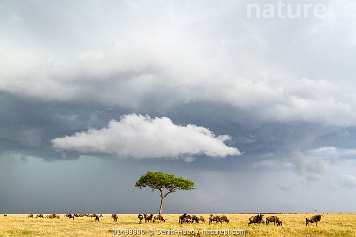 Wildebeest (Connochaetes taurinus) herd below stormy sky during migration, Masai-Mara game reserve, Kenya.  ,  catalogue7,Animal,Vertebrate,Mammal,Bovid,Wildebeest,Blue & White-bearded Wildebeest,Animalia,Animal,Wildlife,Vertebrate,Mammalia,Mammal,Artiodactyla,Even-toed ungulates,Bovidae,Bovid,ruminantia,Ruminant,Connochaetes,Wildebeest,Connochaetes taurinus,Blue & White-bearded Wildebeest,Blue Wildebeest,Common Wildebeest,Migrating,Migration,Moving After,Following,Follow,Follows,Walking,Independence,Independent,Journey,Leadership,On The Move,Alone,Sayings,Calm Before The Storm,Solitude,Solitary,Above,Herds,Many,Group,Large Group,Nobody,Africa,East Africa,Kenya,Plant,Tree,Horizon,Horizon Over Land,Horizons Over Land,Sky,Cloud,Storm Cloud,Weather,Storm,Landscape,Landscapes,Outdoors,Open Air,Outside,Day,Nature,Natural,Natural World,Wild,Animals In The Wild,Animal In The Wild,Wild Animal,Wild Animals,Savanna,Bad Weather,Habitat,Animal Behaviour,Reserve,Behaviour,Maasai Mara,Severe weather,Protected area,Moving,Game reserve,,Immense,Vast,Space,Open Spaces,  ,  Denis-Huot