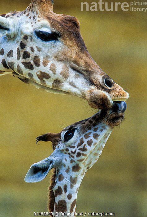 West African giraffe (Giraffa camelopardalis peralta) mother and baby nuzzling each other. Bioparc Zoo de Doue la Fontaine, France. Captive, occurs in south-western Niger. Endangered subspecies., high15,,Animal,Vertebrate,Mammal,Giraffid,Giraffe,West African giraffe,Animalia,Animal,Wildlife,Vertebrate,Mammalia,Mammal,Artiodactyla,Even-toed ungulates,Giraffidae,Giraffid,Ruminant,Giraffa,Giraffe,Giraffa camelopardalis,Nuzzling,Touching,Touch,Connection,Cute,Adorable,Two,Nobody,Pattern,Patterned,Patterns,Affectionate,Affection,Africa,West Africa,Niger,Vertical,Close Up,Young Animal,Juvenile,Babies,Female animal,Zoo,Outdoors,Open Air,Outside,Day,Captivity,Animal Behaviour,Family,Mother baby,Behaviour,Mother-baby,mother,West African giraffe,Two animals,West African,Parent baby,Animal marking,Bioparc Zoo de Doue la Fontaine, Denis-Huot