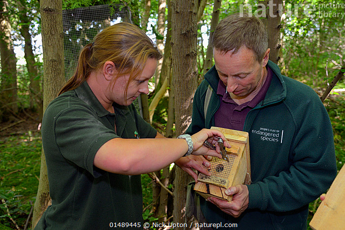 Clare Stalford of the Wildwood Trust removing wire mesh from the entrance hole of a nest box containing a pair of Hazel dormice (Muscardinus avellanarius), held by Ian White, Dormouse officer for the People's Trust for Endangered Species, before placing it inside into a 'soft release' cage attached to a tree in coppiced ancient woodland, Nottinghamshire, UK, June. Model released., ANIMAL,VERTEBRATE,MAMMAL,RODENT,DORMOUSE,HAZEL DORMICE,COMMON DORMOUSE,ANIMALIA,ANIMAL,WILDLIFE,VERTEBRATE,CHORDATE,MAMMALIA,MAMMAL,RODENTIA,RODENT,GLIRIDAE,DORMOUSE,MUSCARDINUS,HAZEL DORMICE,COMMON DORMICE,MUSCARDINUS AVELLANARIUS,COMMON DORMOUSE,HAZEL DORMOUSE,MUSCARDINUS ABANTICUS,MUSCARDINUS ANGLICUS,MUSCARDINUS CORILINUM,RELEASING,PEOPLE,FEMALE,WOMAN,MALE,MAN,EUROPE,WESTERN EUROPE,UK,GREAT BRITAIN,ENGLAND,NOTTINGHAMSHIRE,ANIMAL HOME,NEST BOX,NEST BOXES,CONSERVATION,NEST BOXES,WILDLIFE CONSERVATION,REINTRODUCTION,REINTRODUCED,United Kingdom, Nick Upton