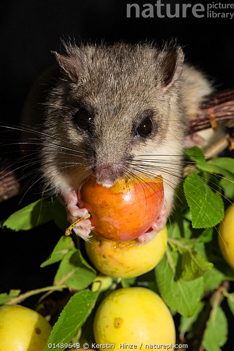 Edible dormouse (Glis glis) feeding on mirabelle plums (Prunus domestica), Lower Saxony, Germany, captive, July.  ,  PLANT,VASCULAR PLANT,FLOWERING PLANT,ROSID,STONE FRUIT,PLUM TREE,ANIMAL,VERTEBRATE,MAMMAL,RODENT,DORMOUSE,FAT DOORMOUSE,EDIBLE DORMOUSE,PLANTAE,PLANT,TRACHEOPHYTA,VASCULAR PLANT,MAGNOLIOPSIDA,FLOWERING PLANT,ANGIOSPERM,SEED PLANT,SPERMATOPHYTE,SPERMATOPHYTINA,ANGIOSPERMAE,ROSALES,ROSID,DICOT,DICOTYLEDON,ROSANAE,ROSACEAE,PRUNUS,STONE FRUIT,PRUNUS DOMESTICA,PLUM TREE,EUROPEAN PLUM TREE,PRUNUS COMMUNIS,PRUNUS OECONOMICA,PRUNUS SATIVA DOMESTICA,ANIMALIA,ANIMAL,WILDLIFE,VERTEBRATE,CHORDATE,MAMMALIA,MAMMAL,RODENTIA,RODENT,GLIRIDAE,DORMOUSE,GLIS,FAT DOORMOUSE,GLIS GLIS,EDIBLE DORMOUSE,FAT DORMOUSE,MYOXUS GLIS,EUROPE,WESTERN EUROPE,GERMANY,VERTICAL,CLOSE UP,NIGHT,NOCTURNAL,FEEDING,EDIBLE,FRUIT,FRUITS,TREE,TREES,PLANTS  ,  Kerstin  Hinze