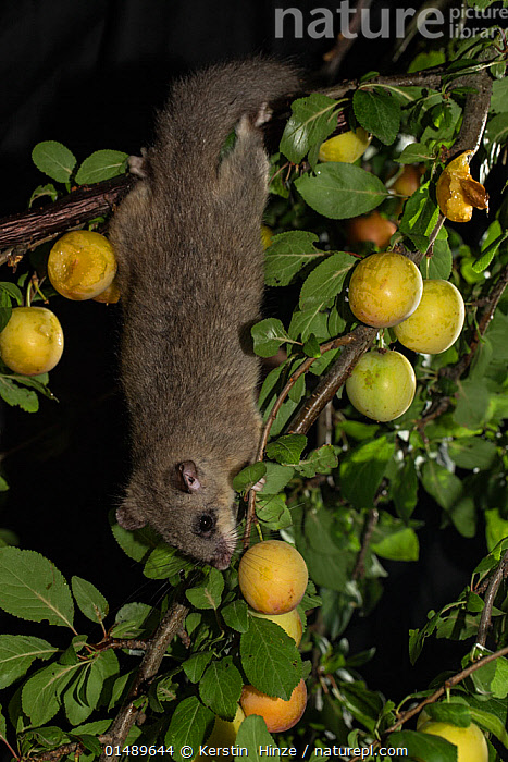 Edible dormouse (Glis glis) reaching down a branch to feed on mirabelle plums (Prunus domestica), Lower Saxony, Germany, captive, July.  ,  PLANT,VASCULAR PLANT,FLOWERING PLANT,ROSID,STONE FRUIT,PLUM TREE,ANIMAL,VERTEBRATE,MAMMAL,RODENT,DORMOUSE,FAT DOORMOUSE,EDIBLE DORMOUSE,PLANTAE,PLANT,TRACHEOPHYTA,VASCULAR PLANT,MAGNOLIOPSIDA,FLOWERING PLANT,ANGIOSPERM,SEED PLANT,SPERMATOPHYTE,SPERMATOPHYTINA,ANGIOSPERMAE,ROSALES,ROSID,DICOT,DICOTYLEDON,ROSANAE,ROSACEAE,PRUNUS,STONE FRUIT,PRUNUS DOMESTICA,PLUM TREE,EUROPEAN PLUM TREE,PRUNUS COMMUNIS,PRUNUS OECONOMICA,PRUNUS SATIVA DOMESTICA,ANIMALIA,ANIMAL,WILDLIFE,VERTEBRATE,CHORDATE,MAMMALIA,MAMMAL,RODENTIA,RODENT,GLIRIDAE,DORMOUSE,GLIS,FAT DOORMOUSE,GLIS GLIS,EDIBLE DORMOUSE,FAT DORMOUSE,MYOXUS GLIS,EUROPE,WESTERN EUROPE,GERMANY,VERTICAL,NIGHT,NOCTURNAL,FEEDING,EDIBLE,FRUIT,FRUITS,TREE,TREES,PLANTS  ,  Kerstin  Hinze