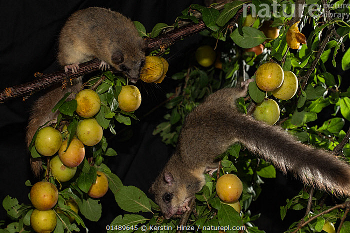 Two edible dormice (Glis glis) feeding on mirabelle plums (Prunus domestica), Lower Saxony, Germany, captive, July.  ,  PLANT,VASCULAR PLANT,FLOWERING PLANT,ROSID,STONE FRUIT,PLUM TREE,ANIMAL,VERTEBRATE,MAMMAL,RODENT,DORMOUSE,FAT DOORMOUSE,EDIBLE DORMOUSE,PLANTAE,PLANT,TRACHEOPHYTA,VASCULAR PLANT,MAGNOLIOPSIDA,FLOWERING PLANT,ANGIOSPERM,SEED PLANT,SPERMATOPHYTE,SPERMATOPHYTINA,ANGIOSPERMAE,ROSALES,ROSID,DICOT,DICOTYLEDON,ROSANAE,ROSACEAE,PRUNUS,STONE FRUIT,PRUNUS DOMESTICA,PLUM TREE,EUROPEAN PLUM TREE,PRUNUS COMMUNIS,PRUNUS OECONOMICA,PRUNUS SATIVA DOMESTICA,ANIMALIA,ANIMAL,WILDLIFE,VERTEBRATE,CHORDATE,MAMMALIA,MAMMAL,RODENTIA,RODENT,GLIRIDAE,DORMOUSE,GLIS,FAT DOORMOUSE,GLIS GLIS,EDIBLE DORMOUSE,FAT DORMOUSE,MYOXUS GLIS,EUROPE,WESTERN EUROPE,GERMANY,NIGHT,NOCTURNAL,FEEDING,EDIBLE,FRUIT,FRUITS,TREE,TREES,PLANTS  ,  Kerstin  Hinze