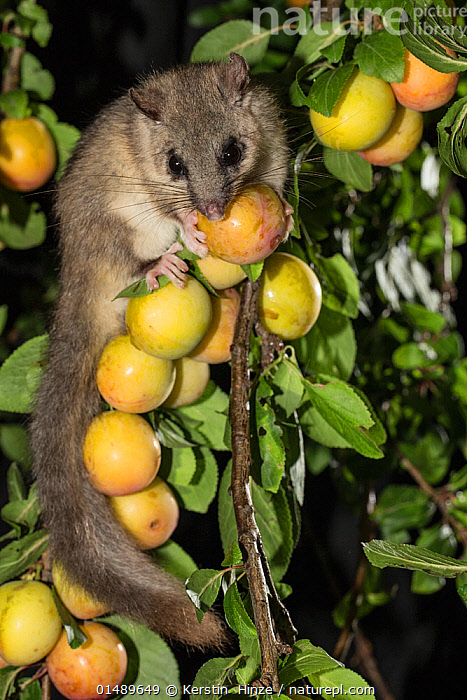 Edible dormouse (Glis glis) feeding on mirabelle plums (Prunus domestica), Lower Saxony, Germany, captive, July.  ,  PLANT,VASCULAR PLANT,FLOWERING PLANT,ROSID,STONE FRUIT,PLUM TREE,ANIMAL,VERTEBRATE,MAMMAL,RODENT,DORMOUSE,FAT DOORMOUSE,EDIBLE DORMOUSE,PLANTAE,PLANT,TRACHEOPHYTA,VASCULAR PLANT,MAGNOLIOPSIDA,FLOWERING PLANT,ANGIOSPERM,SEED PLANT,SPERMATOPHYTE,SPERMATOPHYTINA,ANGIOSPERMAE,ROSALES,ROSID,DICOT,DICOTYLEDON,ROSANAE,ROSACEAE,PRUNUS,STONE FRUIT,PRUNUS DOMESTICA,PLUM TREE,EUROPEAN PLUM TREE,PRUNUS COMMUNIS,PRUNUS OECONOMICA,PRUNUS SATIVA DOMESTICA,ANIMALIA,ANIMAL,WILDLIFE,VERTEBRATE,CHORDATE,MAMMALIA,MAMMAL,RODENTIA,RODENT,GLIRIDAE,DORMOUSE,GLIS,FAT DOORMOUSE,GLIS GLIS,EDIBLE DORMOUSE,FAT DORMOUSE,MYOXUS GLIS,EUROPE,WESTERN EUROPE,GERMANY,VERTICAL,NIGHT,NOCTURNAL,FEEDING,EDIBLE,FRUIT,FRUITS,TREE,TREES,PLANTS  ,  Kerstin  Hinze