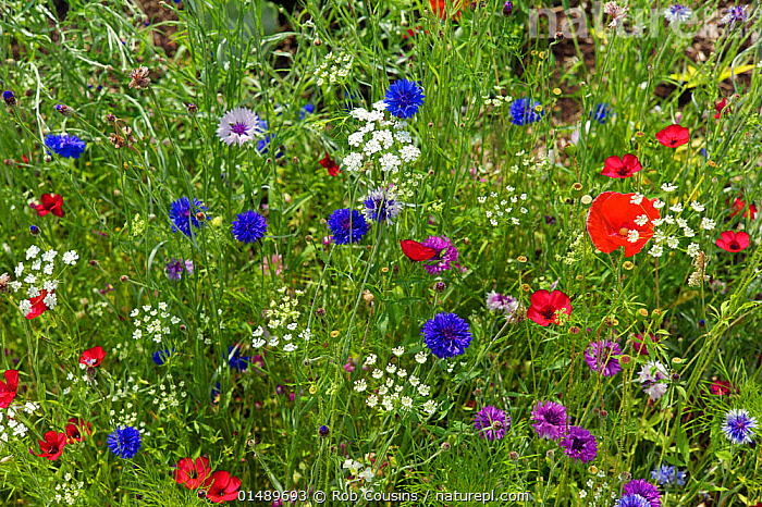 Wildflowers with Cornflowers (Centaurea cyanus), Poppies (Papaver rhoeas) and many other species, UK, July.  ,  PLANT,VASCULAR PLANT,FLOWERING PLANT,DICOT,POPPY,COMMON POPPY,ASTERID,KNAPWEED,CORNFLOWER,PLANTAE,PLANT,TRACHEOPHYTA,VASCULAR PLANT,MAGNOLIOPSIDA,FLOWERING PLANT,ANGIOSPERM,SEED PLANT,SPERMATOPHYTE,SPERMATOPHYTINA,ANGIOSPERMAE,RANUNCULALES,DICOT,DICOTYLEDON,RANUNCULANAE,PAPAVERACEAE,FUMARIACEAE,PAPAVER,POPPY,STYLOMECON,PAPAVER RHOEAS,COMMON POPPY,CORN POPPY,FIELD POPPY,RED POPPY,ASTERALES,ASTERID,ASTERANAE,ASTERACEAE,COMPOSITAE,CENTAUREA,KNAPWEED,STAR THISTLE,EUROPE,WESTERN EUROPE,UK,WILDFLOWER,WILDFLOWERS,FLOWER,CENTAUREA CYANUS,CORNFLOWER,United Kingdom  ,  Rob Cousins