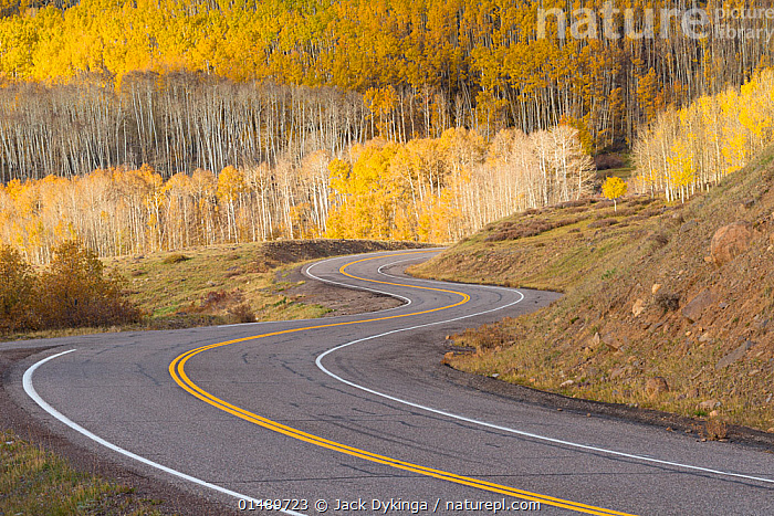 Road winding through aspen trees (Populus tremuloides) in autumn, Dixie National Forest, Boulder Mountain, Utah. October 2013., high15,,Plant,Vascular plant,Flowering plant,Rosid,Cottonwood tree,Quaking aspen tree,American,Plantae,Plant,Tracheophyta,Vascular plant,Magnoliopsida,Flowering plant,Angiosperm,Seed plant,Spermatophyte,Spermatophytina,Angiospermae,Malpighiales,Rosid,Dicot,Dicotyledon,Rosanae,Salicaceae,Populus,Cottonwood tree,Cottonwood,Populus tremuloides,Quaking aspen tree,Trembling aspen,American aspen,Populus aurea,Populus tremula tremuloides,Change,Changes,Changing,Transform,Transformation,Transformed,Transforming,Transforms,The Way Forward,Way Forward,Colour,Yellow,Nobody,North America,USA,Western USA,Southwest US,Utah,Tree,Road,Construction Material,Asphalt,Bitumen,Tarmac,Landscape,Landscapes,Outdoors,Open Air,Outside,Autumn,Autumnal,Fall,Day,Woodland,Reserve,Forest,Protected area,National Forest,Winding,American,Yellow Colour,Dividing Line,Dixie National Forest,Boulder Mountain,United States of America,Tree,Trees, Jack Dykinga