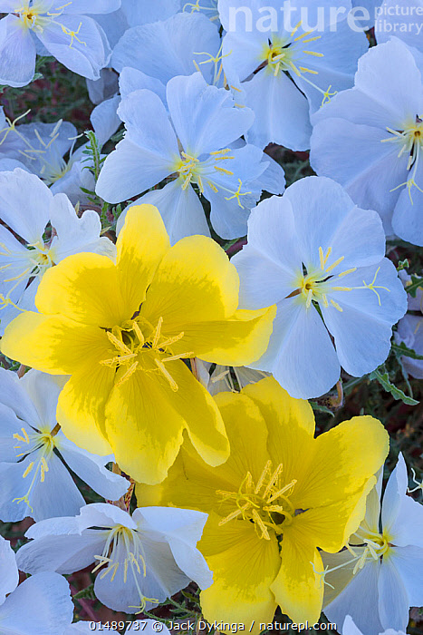 White flowering birdcage evening primrose (Oenothera deltoides) and yellow evening primrose (Oenothera primiveris), Cabeza Prieta National Wildlife Refuge, Arizona. February 2014.  ,  high15,,Plant,Vascular plant,Flowering plant,Rosid,Birdcage evening primrose,American,Plantae,Plant,Tracheophyta,Vascular plant,Magnoliopsida,Flowering plant,Angiosperm,Seed plant,Spermatophyte,Spermatophytina,Angiospermae,Myrtales,Rosid,Dicot,Dicotyledon,Rosanae,Onagraceae,Onagre,Oenothera,Oenothera deltoides,Birdcage evening primrose,Basket evening primrose,Dune primrose,Opening,Contrasts,Freshness,Fresh,Hope,Innocence,Innocent,Purity,Sayings,Standing From The Crowd,Separated,Colour,White,Yellow,Nobody,Vibrant Colour,North America,USA,Western USA,Southwest US,Arizona,Full Frame,Vertical,Close Up,Outdoors,Open Air,Outside,Day,Backgrounds,Background,Mixed species,White colour,Refuge,American,Yellow Colour,United States of America,Cabeza Prieta National Wildlife Refuge,  ,  Jack Dykinga