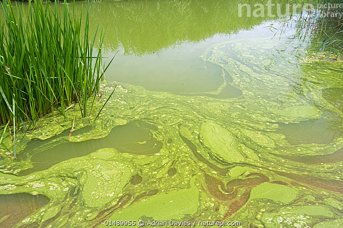 Blue-Green Algae (Cyanobacteria) bloom on Slapton Ley, Devon, England. This bacteria produces toxins including Micocystin, July., BACTERIUM,BLUE GREEN BACTERIA,BACTERIA,BACTERIUM,CYANOBACTERIA,BLUE GREEN BACTERIA,BLUE GREEN ALGA,TOXIC SUBSTANCE,POISON,POISONOUS,POISONS,COLOUR,GREEN,EUROPE,WESTERN EUROPE,UK,GREAT BRITAIN,ENGLAND,DEVON,PLANT,GRASS FAMILY,REED,REEDS,MICRO ORGANISM,MICRO ORGANISMS,BACTERIAS,FLOWING WATER,RIVER,FRESHWATER,GREEN COLOUR,United Kingdom, Adrian Davies