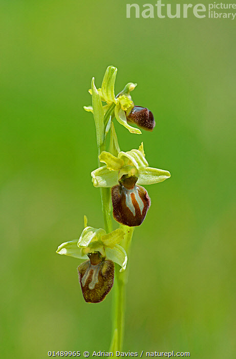 Early Spider Orchid (Ophrys sphegodes) Samphire Hoe, Kent, England, April.  ,  PLANT,VASCULAR PLANT,FLOWERING PLANT,MONOCOT,ORCHID,BEE ORCHID,EARLY SPIDER ORCHID,PLANTAE,PLANT,TRACHEOPHYTA,VASCULAR PLANT,MAGNOLIOPSIDA,FLOWERING PLANT,ANGIOSPERM,SEED PLANT,SPERMATOPHYTE,SPERMATOPHYTINA,ANGIOSPERMAE,ASPARAGALES,MONOCOT,MONOCOTYLEDON,LILIANAE,ORCHIDACEAE,ORCHID,OPHRYS,BEE ORCHID,OPHRYS SPHEGODES,EARLY SPIDER ORCHID,COLOUR,GREEN,EUROPE,WESTERN EUROPE,UK,GREAT BRITAIN,ENGLAND,KENT,VERTICAL,FLOWER,GREEN COLOUR,United Kingdom  ,  Adrian Davies