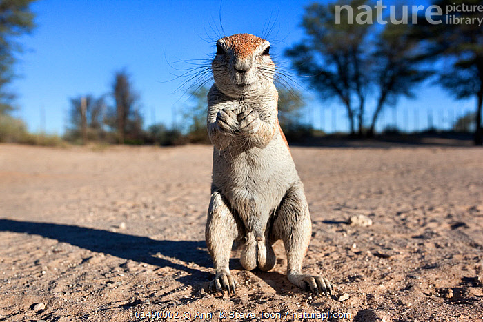 Male Ground squirrel (Xerus inauris) standing on hind legs, Kgalagadi Transfrontier Park, Northern Cape, South Africa. Non-ex.  ,  ANIMAL,VERTEBRATE,MAMMAL,RODENT,AFRICAN GROUND SQUIRREL,CAPE GROUND SQUIRREL,GENITALS,REPRODUCTIVE ORGANS,REPRODUCTION,SEX ORGAN,ANIMALIA,ANIMAL,WILDLIFE,VERTEBRATE,CHORDATE,MAMMALIA,MAMMAL,RODENTIA,RODENT,SCIURIDAE,XERUS,AFRICAN GROUND SQUIRREL,XERUS INAURIS,CAPE GROUND SQUIRREL,SOUTH AFRICAN GROUND SQUIRREL,XERUS AFRICANUS,XERUS CAPENSIS,XERUS DSCHINSHICUS,XERUS GINGINIANUS,XERUS LEVAILLANTII,XERUS NAMAQUENSIS,XERUS SETOSUS,GEOSCIURUS INAURIS,CUTE,ADORABLE,AFRICA,SOUTHERN AFRICA,SOUTH AFRICA,PORTRAIT,MALE ANIMAL,RESERVE,REPRODUCTIVE SYSTEM,GENITALIA,PROTECTED AREA,NATIONAL PARK,SEX ORGANS,PENIS,GENITALS,REPRODUCTIVE ORGANS,REPRODUCTION,SEX ORGAN,TESTICLES,TESTIS,INTERNATIONAL PARKS,KGALAGADI TRANSFRONTIER PARK,SOUTH AFRICAN,TRANSFRONTIER PARK  ,  Ann  & Steve Toon