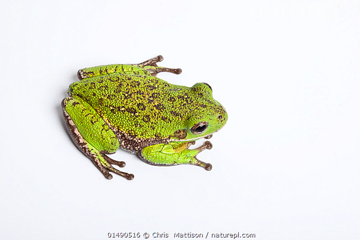 Barking tree frog (Hyla gratiosa) on white background, occurs in Florida, Delaware and Louisiana.  ,  ANIMAL,VERTEBRATE,FROG,TREE FROG,BARKING TREE FROG,ANIMALIA,ANIMAL,WILDLIFE,VERTEBRATE,CHORDATE,AMPHIBIA,ANURA,FROG,HYLIDAE,TREE FROG,HYLA,HYLA GRATIOSA,BARKING TREE FROG,COLOUR,GREEN,NORTH AMERICA,USA,SOUTHERN USA,DELAWARE,SOUTHEAST US,FLORIDA,LOUISIANA,CUTOUT,PLAIN BACKGROUND,WHITE BACKGROUND,HIGH ANGLE VIEW,ELEVATED VIEW,GREEN COLOUR,AMPHIBIAN  ,  Chris  Mattison