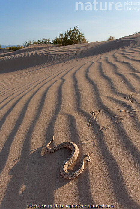 Sidewinder (Crotalus cerstastes) in sand dunes, Anza-Borrego Desert State Park, California, USA, May., high15,,Animal,Vertebrate,Reptile,Squamate,Viper,Rattlesnake,Sidewinder rattlesnake,American,Animalia,Animal,Wildlife,Vertebrate,Reptilia,Reptile,Squamata,Squamate,Viperidae,Viper,Viperid snakes,Snake,Crotalus,Rattlesnake,Rattler,Pitviper,Pit viper,Crotalus cerastes,Sidewinder rattlesnake,Aechmophrys cerastes,Crotalus cerastes cerastes,On The Move,Alone,Solitude,Solitary,Colour,Brown,Nobody,Ripple,Rippled,North America,USA,Western USA,Southwest US,California,Vertical,Close Up,Sand Dune,Dune,Dunes,Sandbank,Hill,Hills,Hillside,Hillsides,Desert,Deserts,Outdoors,Open Air,Outside,Day,Habitat,Reserve,Protected area,Moving,State park,American,Brown Colour,Anza-Borrego Desert State Park,United States of America,Sidewinding,Sidewinder (syn to Sidewinding)r,Venomous, Chris  Mattison