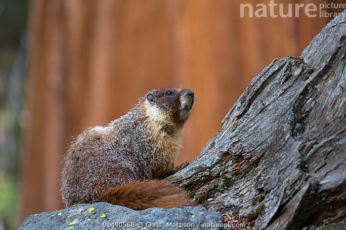Yellow-bellied marmot (Marmota flaviventris) Sequoia National Park, California, USA, May.  ,  ANIMAL,VERTEBRATE,MAMMAL,RODENT,MARMOT,YELLOW BELLIED MARMOT,ANIMALIA,ANIMAL,WILDLIFE,VERTEBRATE,CHORDATE,MAMMALIA,MAMMAL,RODENTIA,RODENT,SCIURIDAE,MARMOTA,MARMOT,MARMOTA FLAVIVENTRIS,YELLOW BELLIED MARMOT,NORTH AMERICA,USA,WESTERN USA,SOUTHWEST US,CALIFORNIA,PROFILE,SIDE VIEW,RESERVE,PROTECTED AREA,NATIONAL PARK  ,  Chris  Mattison