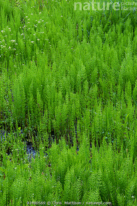 Water Horsetail / Swamp Horsetail (Equisetum fluvatile) Sierra Nevada, California, USA, May.  ,  PLANT,VASCULAR PLANT,PTERIDOPHYTE,HORSETAIL,PLANTAE,PLANT,TRACHEOPHYTA,VASCULAR PLANT,EQUISETOPSIDA,PTERIDOPHYTE,EQUISETALES,EQUISETACEAE,EQUISETUM,HORSETAIL,SCOURING RUSH,SNAKE GRASS,PUZZLEGRASS,EQUISETUM FLUVATILE,COLOUR,GREEN,NORTH AMERICA,USA,WESTERN USA,SOUTHWEST US,CALIFORNIA,VERTICAL,WETLAND,GREEN COLOUR,SIERRA NEVADA  ,  Chris  Mattison
