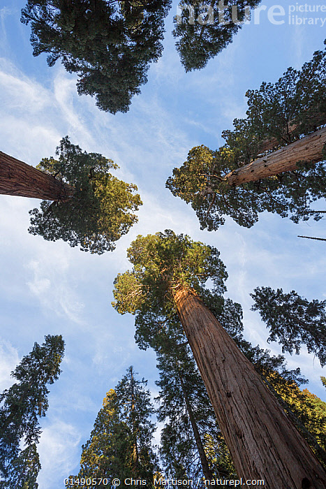 Giant sequoia (Sequoiadendron giganteum) Sierra Nevada, California, USA, May.  ,  high15,,Plant,Vascular plant,Conifer,Cypress,Giant sequoia,Giant sequoia tree,American,Plantae,Plant,Tracheophyta,Vascular plant,Pinopsida,Conifer,Gymnosperm,Spermatophyte,Pinophyta,Coniferophyta,Coniferae,Spermatophytina,Gymnospermae,Cupressales,Cupressaceae,Cypress,Sequoiadendron,Giant sequoia,Redwood,Sequoiadendron giganteum,Giant sequoia tree,Giant redwood,Sierra redwood,Wellingtonia,Wellingtonia gigantea,Sequoia gigantea,Sequoia wellingtonia,Stretching,Aspiration,Aspirations,Aspire,Aspiring,Growth,Grow,Growing,Grows,Rivalry,Rival,Rivals,Group,Medium Group,Nobody,Height,Tall,High,Size,Giant,Huge,Massive,North America,USA,Western USA,Southwest US,California,Vertical,Low Angle View,Tree Trunk,Treetop,Treetops,Outdoors,Open Air,Outside,Day,Forest,Medium Group of Objects,Imposing,Sierra Nevada,American,United States of America,Tree,Trees  ,  Chris  Mattison