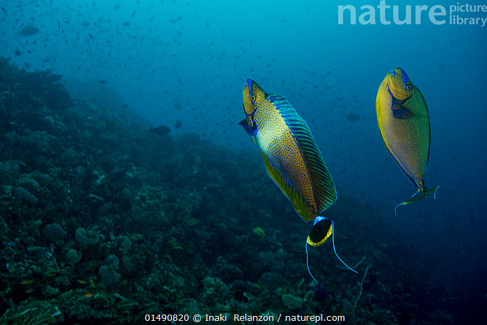 Nature Picture Library Bignose Unicornfish Naso Vlamingii