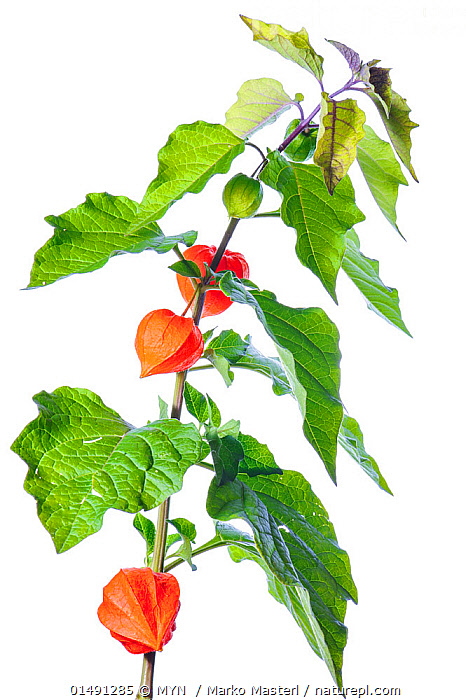 Chinese Lantern (Physalis alkekengi) with fruits, Slovenia, Europe, September. meetyourneighbours.net project, PLANT,VASCULAR PLANT,FLOWERING PLANT,ASTERID,CHINESE LANTERN PLANT,BLADDER CHERRY,PLANTAE,PLANT,TRACHEOPHYTA,VASCULAR PLANT,MAGNOLIOPSIDA,FLOWERING PLANT,ANGIOSPERM,SEED PLANT,SPERMATOPHYTE,SPERMATOPHYTINA,ANGIOSPERMAE,SOLANALES,ASTERID,DICOT,DICOTYLEDON,ASTERANAE,SOLANACEAE,SOLANACEES,PHYSALIS,CHINESE LANTERN PLANT,CHINESE LANTERN,PHYSALIS ALKEKENGI,BLADDER CHERRY,JAPANESE LANTERN,WINTER CHERRY,STRAWBERRY GROUNDCHERRY,EUROPE,SOUTHERN EUROPE,SOUTH EUROPE,SLOVENIA,CUTOUT,PLAIN BACKGROUND,WHITE BACKGROUND,VERTICAL,MYN,MEET YOUR NEIGHBOURS, MYN  / Marko Masterl