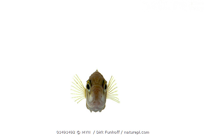 Three-spined Stickleback (Gasterosteus aculeatus), Unterjeckenbach, Rhineland-Palatinate, Germany, June. meetyourneighbours.net project, ANIMAL,VERTEBRATE,RAY FINNED FISH,STICKLEBACK,THREE SPINED STICKLEBACK,ANIMALIA,ANIMAL,WILDLIFE,VERTEBRATE,CHORDATE,ACTINOPTERYGII,RAY FINNED FISH,OSTEICHTHYES,BONY FISH,FISH,GASTEROSTEIFORMES,GASTEROSTEIDAE,STICKLEBACK,GASTEROSTEUS,GASTEROSTEUS ACULEATUS,THREE SPINED STICKLEBACK,GASTEROSTEUS BISPINOSUS,GASTEROSTEUS TERACULEATUS,GASTEROSTEUS CATAPHRACTUS,SWIMMING,EUROPE,WESTERN EUROPE,GERMANY,CUTOUT,PLAIN BACKGROUND,WHITE BACKGROUND,FRONT VIEW,VIEW FROM FRONT,FRESHWATER,UNDERWATER,MYN,MEET YOUR NEIGHBOURS,MARINE, MYN  / Dirk Funhoff