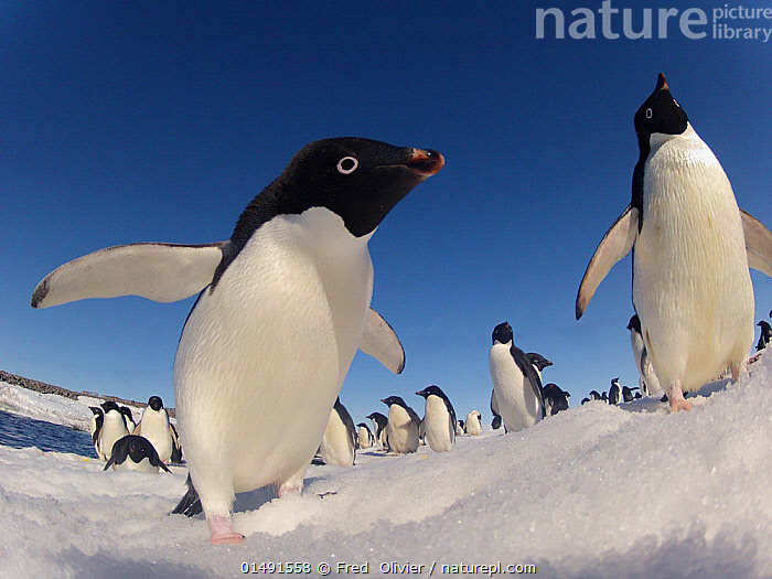 Adelie penguins (Pygoscelis adeliae) wide angle portrait of two with larger group in background, Antarctica., high15,,Animal,Vertebrate,Bird,Birds,Penguin,Adelie penguin,Animalia,Animal,Wildlife,Vertebrate,Aves,Bird,Birds,Sphenisciformes,Penguin,Seabird,Spheniscidae,Pygoscelis,Pygoscelis adeliae,Adelie penguin,Curiosity,Cute,Adorable,Group,Large Group,Nobody,Pattern,Patterned,Patterns,Temperature,Cold,Antarctica,Antarctic,Polar,Close Up,Low Angle View,Wide Angle,Portrait,Fin,Animal Flipper,Animal Flippers,Fins,Flippers,Sky,Snow,Outdoors,Open Air,Outside,Day,Blue sky,Animal marking,Personal point of view,Bending,Bending forwards,Personal POV,Marine bird,Marine birds,Pelagic bird,Pelagic birds,Flightless, Fred  Olivier