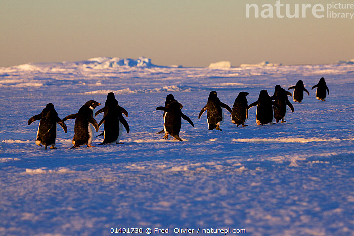 Adelie penguins (Pygoscelis adeliae) travelling to the ice edge to feed, Antarctica.  ,  high15,,Animal,Vertebrate,Bird,Birds,Penguin,Adelie penguin,Animalia,Animal,Wildlife,Vertebrate,Aves,Bird,Birds,Sphenisciformes,Penguin,Seabird,Spheniscidae,Pygoscelis,Pygoscelis adeliae,Adelie penguin,Moving After,Following,Follow,Follows,Waddling,Waddle,Waddles,Walking,Decisions,Direction,Journey,On The Move,Colour,Black,Distant,Distance,Group,Large Group,Nobody,Antarctica,Antarctic,Polar,Rear View,Light,Lights,Sunlight,Ice,Outdoors,Open Air,Outside,Day,Habitat,Moving,Departure,Purpose,Destination,Marine bird,Marine birds,Pelagic bird,Pelagic birds,Flightless  ,  Fred  Olivier