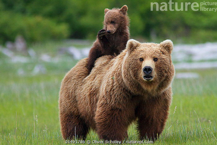 Grizzly bear (Ursus arctos horribilis) female with cub riding on back, Katmai National Park, Alaska, USA, August., high15,,Animal,Vertebrate,Mammal,Carnivore,Bear,Brown Bear,Grizzly bear,American,Animalia,Animal,Wildlife,Vertebrate,Mammalia,Mammal,Carnivora,Carnivore,Ursidae,Bear,Ursus,Ursus arctos,Brown Bear,Riding,Standing,Carries,Carry,Passenger,Passengers,Cute,Adorable,Togetherness,Close,Together,Colour,Brown,Two,Nobody,North America,USA,Western USA,Alaska,Front View,View From Front,Young Animal,Juvenile,Babies,Baby Mammal,Cub,Female animal,Hair,Fur,Outdoors,Open Air,Outside,Day,Grassland,Meadow,Meadows,Reserve,Family,Mother baby,Mother-baby,mother,Grizzly bear,Protected area,National Park,Two animals,Direct Gaze,Katmai National Park,Parent baby,Carrying on back,American,Brown Colour,Animal Hair,United States of America,, Oliver Scholey