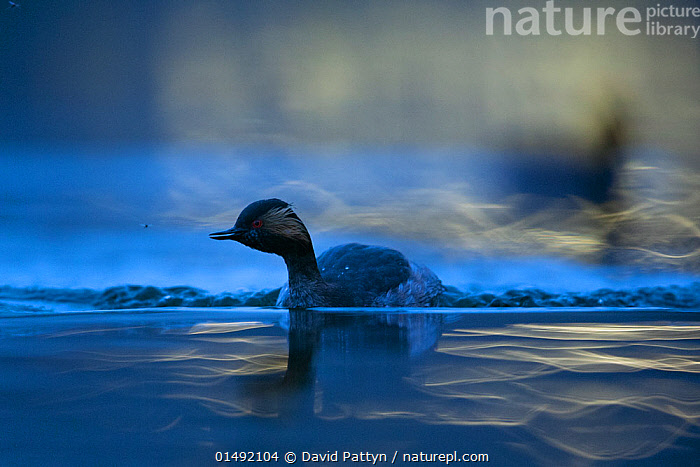Black necked grebe (Podiceps nigricollis) adult foraging at night and catching mosquitoes. The Netherlands.March 2014. Highly commended in Asferico Awards 2017  ,  catalogue10,,Animal,Wildlife,Vertebrate,Bird,Birds,Grebe,Black necked grebe,Wildfowl,Water fowl,Animalia,Animal,Wildlife,Vertebrate,Aves,Bird,Birds,Podicipediformes,Podicipedidae,Grebe,Podiceps,Podiceps nigricollis,Black necked grebe,Eared grebe,Foraging,Ripple,Rippled,Europe,Western Europe,The Netherlands,Holland,Netherlands,Night,Freshwater,Lake,Water,Arty shots,Surface,Waterfowl,Wildfowl,Water fowl,  ,  David  Pattyn