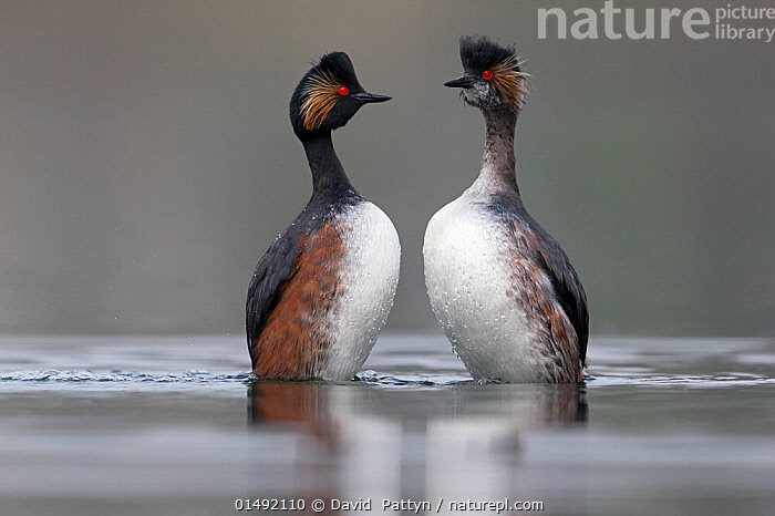 Black necked grebe (Podiceps nigricollis) pair performing their courtship dance in the mating season. The Netherlands.March 2014  ,  ANIMAL,VERTEBRATE,BIRDS,GREBE,BLACK NECKED GREBE,ANIMALIA,ANIMAL,WILDLIFE,VERTEBRATE,AVES,BIRDS,PODICIPEDIFORMES,PODICIPEDIDAE,GREBE,PODICEPS,PODICEPS NIGRICOLLIS,BLACK NECKED GREBE,EARED GREBE,COURTING,SYMMETRY,TWO,EUROPE,WESTERN EUROPE,THE NETHERLANDS,HOLLAND,NETHERLANDS,FRESHWATER,LAKE,WATER,ANIMAL BEHAVIOUR,MATING BEHAVIOUR,COURTSHIP,DISPLAY,MALE FEMALE PAIR,BEHAVIOUR,DISPLAYING,SURFACE,Communication  ,  David  Pattyn