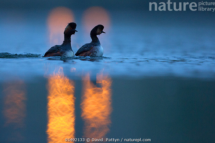 Black necked grebe (Podiceps nigricollis) pair at night, performing their courtship dance during the mating season, with street lights reflected in the water. The Netherlands.April 2014  ,  high15,,Animal,Vertebrate,Bird,Birds,Grebe,Black necked grebe,Wildfowl,Water fowl,Animalia,Animal,Wildlife,Vertebrate,Aves,Bird,Birds,Podicipediformes,Podicipedidae,Grebe,Podiceps,Podiceps nigricollis,Black necked grebe,Eared grebe,Courting,Caution,Cautious,Mystery,Mysterious,Rebellion,Disobedience,Disobedient,Rebel,Rebellions,Rebels,Revolutionary,Partnership,Colour,Yellow,Side By Side,Two,Nobody,Ripple,Rippled,Europe,Western Europe,The Netherlands,Holland,Netherlands,Light,Lights,Outdoors,Open Air,Outside,Night,Nature,Natural,Natural World,Wild,Freshwater,Lake,Water Surface,Water,Animal Behaviour,Mating Behaviour,Courtship,Display,Male female pair,Behaviour,Displaying,Two animals,Surface,Waterfowl,Wildfowl,Water fowl,Yellow Colour,  ,  David  Pattyn