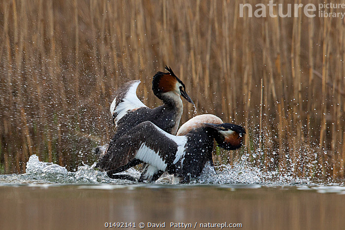 Great crested grebe (Podiceps cristatus) adults fighting in a territorial dispute in the mating season. The Netherlands.april 2014  ,  ANIMAL,VERTEBRATE,BIRDS,GREBE,GREAT CRESTED GREBE,ANIMALIA,ANIMAL,WILDLIFE,VERTEBRATE,AVES,BIRDS,PODICIPEDIFORMES,PODICIPEDIDAE,GREBE,PODICEPS,PODICEPS CRISTATUS,GREAT CRESTED GREBE,EUROPE,WESTERN EUROPE,THE NETHERLANDS,HOLLAND,NETHERLANDS,FRESHWATER,LAKE,WATER,ANIMAL BEHAVIOUR,TERRITORIAL,AGGRESSION,FIGHTING,BEHAVIOUR,SURFACE  ,  David  Pattyn