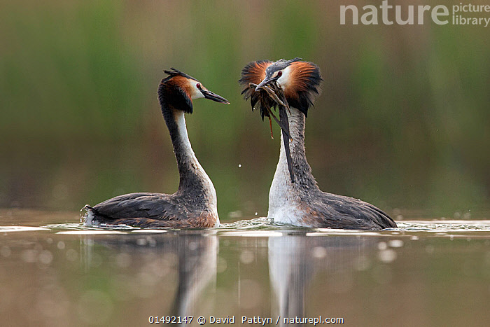 Great crested grebe (Podiceps cristatus) pair performing their 'weed dance' during the courting or mating season. The birds offer each other plant material as a present to confirm their bond. The Netherlands. May 2014  ,  ANIMAL,VERTEBRATE,BIRDS,GREBE,GREAT CRESTED GREBE,ANIMALIA,ANIMAL,WILDLIFE,VERTEBRATE,AVES,BIRDS,PODICIPEDIFORMES,PODICIPEDIDAE,GREBE,PODICEPS,PODICEPS CRISTATUS,GREAT CRESTED GREBE,COURTING,TWO,EUROPE,WESTERN EUROPE,THE NETHERLANDS,HOLLAND,NETHERLANDS,FRESHWATER,LAKE,WATER,ANIMAL BEHAVIOUR,MATING BEHAVIOUR,COURTSHIP,DISPLAY,MALE FEMALE PAIR,BEHAVIOUR,DISPLAYING,SURFACE,Communication  ,  David  Pattyn