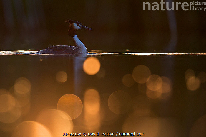 Great crested grebe (Podiceps cristatus) adult bird backlit with bokeh affect in foreground, The Netherlands.May 2014  ,  catalogue7,Animal,Vertebrate,Bird,Birds,Grebe,Great crested grebe,Wildfowl,Water fowl,Animalia,Animal,Wildlife,Vertebrate,Aves,Bird,Birds,Podicipediformes,Podicipedidae,Grebe,Podiceps,Podiceps cristatus,Great crested grebe,Adventure,Adventures,Adventurous,Confidence,Independence,Independent,Journey,Magic,Magical,Mood,Calm,On The Move,Alone,Solitude,Solitary,Colour,Nobody,Dark,Darkness,Europe,Western Europe,The Netherlands,Holland,Netherlands,Profile,Side View,Back Lit,Backlit,Light,Lights,Light Effect,Outdoors,Open Air,Outside,Day,Pretty,Nature,Natural,Natural World,Wild,Freshwater,Lake,Water Surface,Water,Arty shots,Dawn,Moving,Surface,Gold Colour,Waterfowl,Wildfowl,Water fowl  ,  David  Pattyn