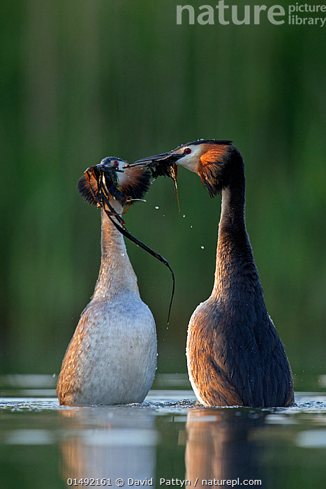 Great crested grebe (Podiceps cristatus) pair performing their spectacular 'weed dance' during the courting or mating season. The birds offer each other plant material as a present to confirm their bond. The Netherlands.May 2014  ,  ANIMAL,VERTEBRATE,BIRDS,GREBE,GREAT CRESTED GREBE,ANIMALIA,ANIMAL,WILDLIFE,VERTEBRATE,AVES,BIRDS,PODICIPEDIFORMES,PODICIPEDIDAE,GREBE,PODICEPS,PODICEPS CRISTATUS,GREAT CRESTED GREBE,COURTING,TWO,EUROPE,WESTERN EUROPE,THE NETHERLANDS,HOLLAND,NETHERLANDS,FRESHWATER,LAKE,WATER,ANIMAL BEHAVIOUR,MATING BEHAVIOUR,COURTSHIP,DISPLAY,MALE FEMALE PAIR,BEHAVIOUR,DISPLAYING,SURFACE,Communication  ,  David  Pattyn