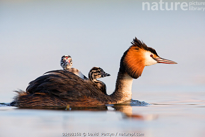 Great crested grebe (Podiceps cristatus) close-up of an adult with two young chicks. The Netherlands. June 2014  ,  catalogue7,Animal,Vertebrate,Bird,Birds,Grebe,Great crested grebe,Wildfowl,Water fowl,Animalia,Animal,Wildlife,Vertebrate,Aves,Bird,Birds,Podicipediformes,Podicipedidae,Grebe,Podiceps,Podiceps cristatus,Great crested grebe,Carries,Carry,Journey,On The Move,Protection,Happiness,Few,Three,Group,Nobody,Facial Expression,Smiling,Europe,Western Europe,The Netherlands,Holland,Netherlands,Profile,Close Up,Side View,Young Animal,Juvenile,Babies,Chick,Outdoors,Open Air,Outside,Day,Nature,Natural,Natural World,Wild,Animals In The Wild,Animal In The Wild,Wild Animal,Wild Animals,Freshwater,Lake,Water,Animal Behaviour,Parental behaviour,Behaviour,Parental,Three Animals,Moving,Surface,Protector,Waterfowl,Wildfowl,Water fowl  ,  David  Pattyn