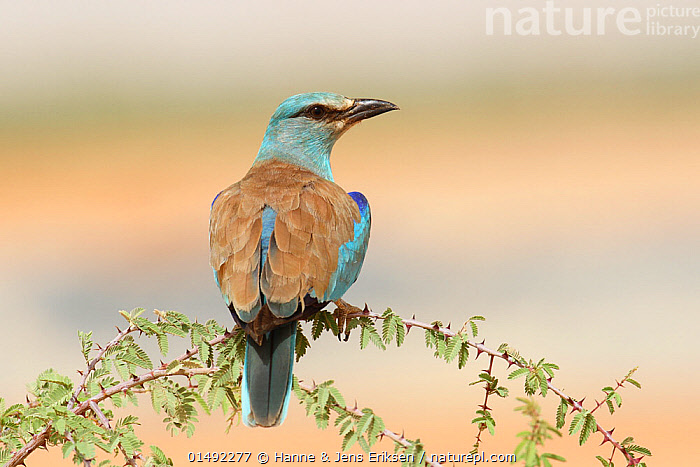 European roller (Coracias garrulus) perched, during spring migration, Oman, May.  ,  ANIMAL,VERTEBRATE,BIRDS,ROLLER,COMMON ROLLER,ANIMALIA,ANIMAL,WILDLIFE,VERTEBRATE,AVES,BIRDS,CORACIIFORMES,CORACIIDAE,ROLLER,CORACIAS,CORACIAS GARRULUS,COMMON ROLLER,EURASIAN ROLLER,EUROPEAN ROLLER,BLUE ROLLER,ASIA,MIDDLE EAST,OMAN,SULTANATE OF OMAN,PLANT,BRANCH,BRANCHES,ARABIA,PERCHING  ,  Hanne & Jens Eriksen